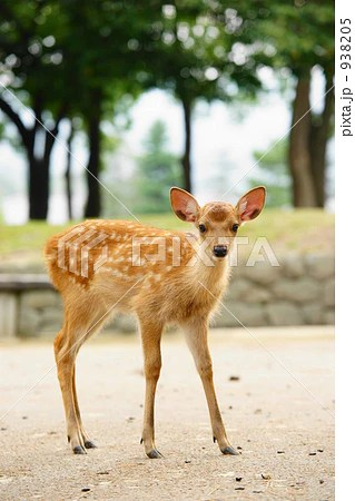 小鹿の寫真素材 [938205] - PIXTA