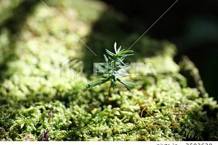 新芽 芽生え 自然 針葉樹