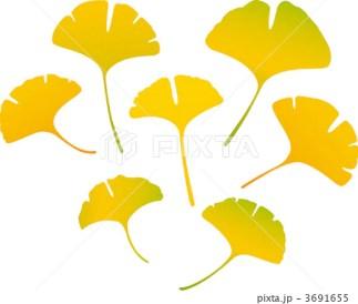 銀杏の葉 3691655