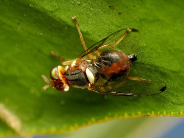 Olive tree pests and their natural treatment - Olive tree fly (Bactrocera oleae)