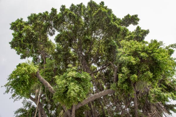 +35 types of ficus - Ficus benjamina, one of the most popular types of ficus