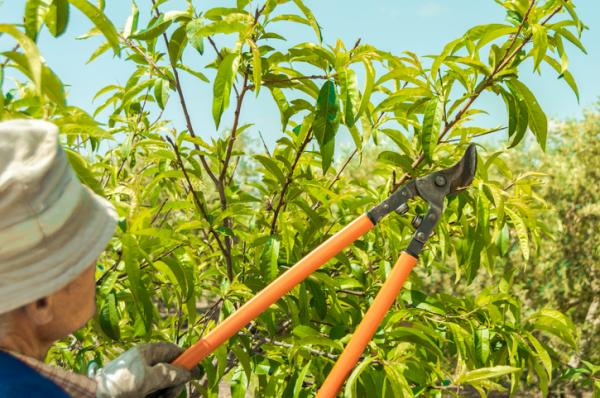 Lemon tree care - Lemon tree pruning