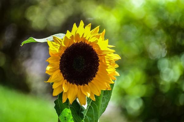 Types of sunflowers - Big Smile