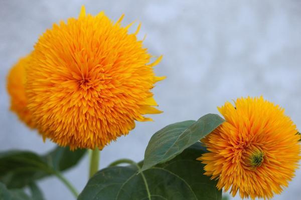 Types of sunflowers - Teddy Bear