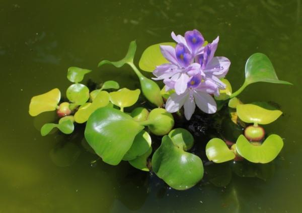 +50 aquatic plants: names and characteristics - with pictures - Floating aquatic plants