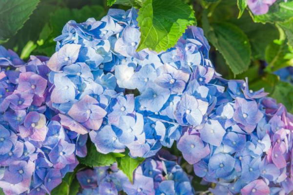 Blue hydrangeas: care and how to grow them - Blue hydrangea care