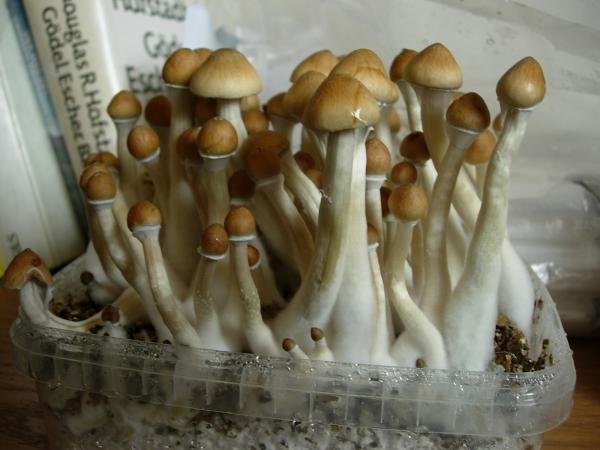 Growing mushrooms at home - How to start growing mushrooms at home