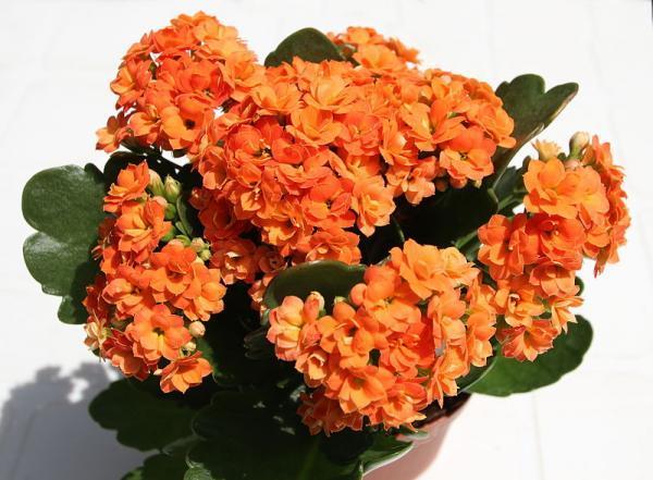 Types of Succulent Plants - Kalanchoe