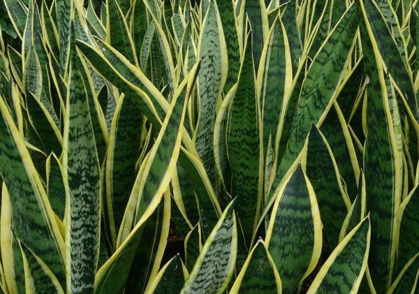 Succulent Plant Types - Sansevieria or Tiger's Tongue