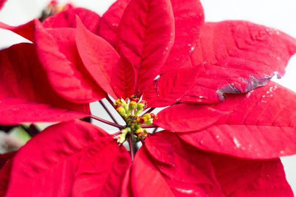 Poinsettia with fallen leaves: why and what to do - What to do if my poinsettia has fallen leaves