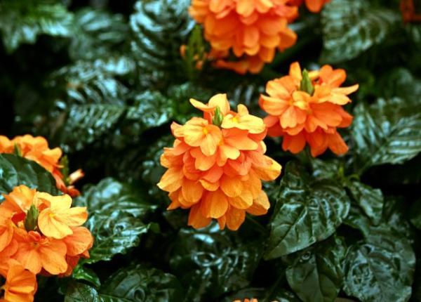 9 orange flowers - Crossandra, one of the most beautiful orange flowering plants