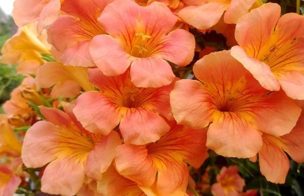 9 orange flowers - Chinese climbing trumpet, a plant with large orange flowers