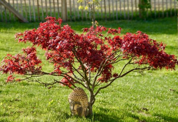 Heat and cold resistant outdoor plants - Japanese maple or Acer palmatum