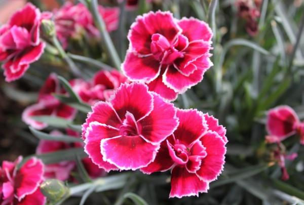 Heat and cold resistant outdoor plants - Carnation or Dianthus caryophyllus