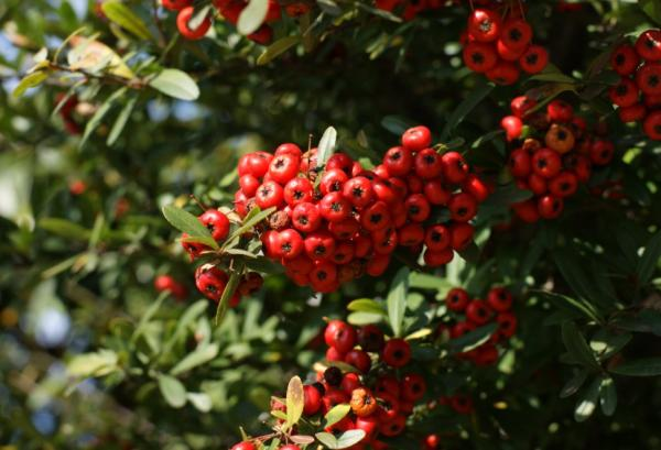 Heat and cold resistant outdoor plants - Firethorn or Pyracantha coccinea