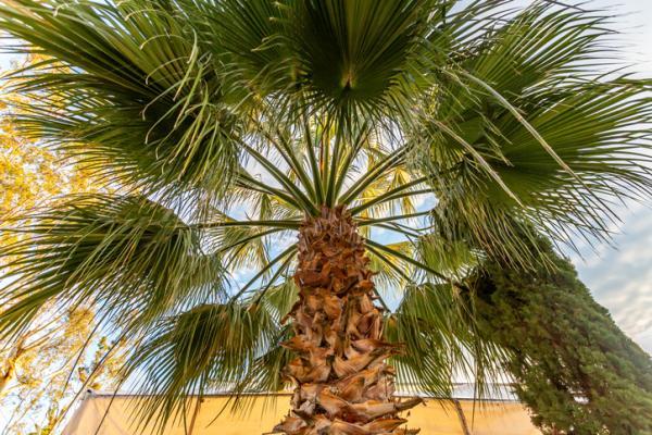 Types of palm trees - Livistona chinensis