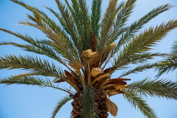 Types of palm trees - Phoenix canariensis