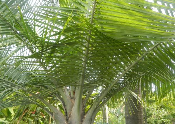 Types of palm trees - Ravenea rivularis
