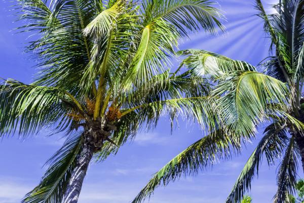 Types of palm trees - Roystonea regia