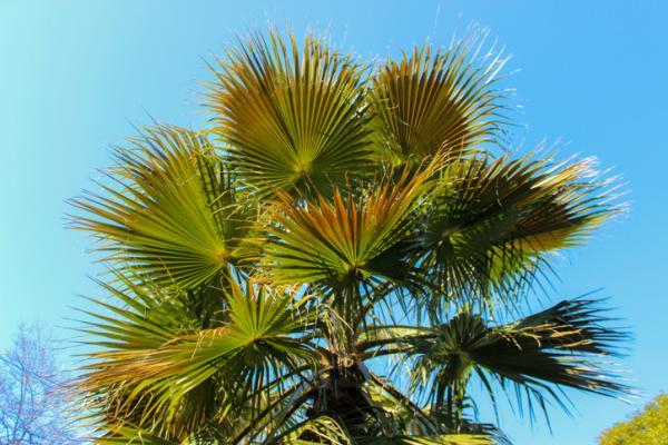 Types of palm trees - Trachycarpus fortunei