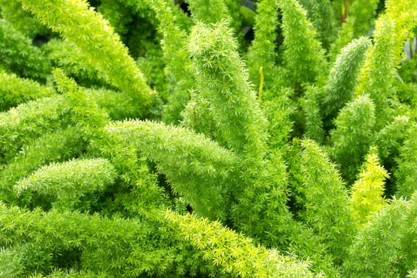 Indoor green plants - Esparraguera
