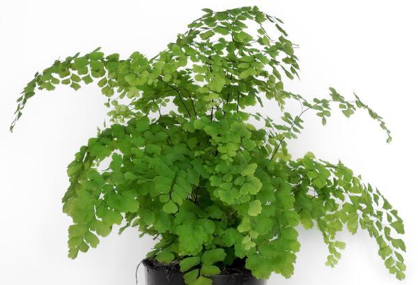 16 small plants - Adiantum raddianum or maidenhair