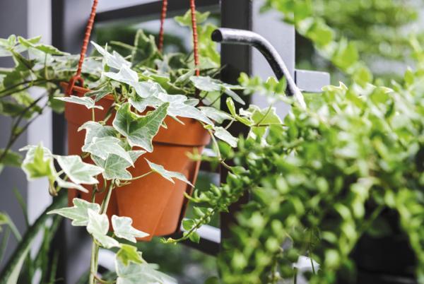 Moisture Absorbing Plants - English Ivy