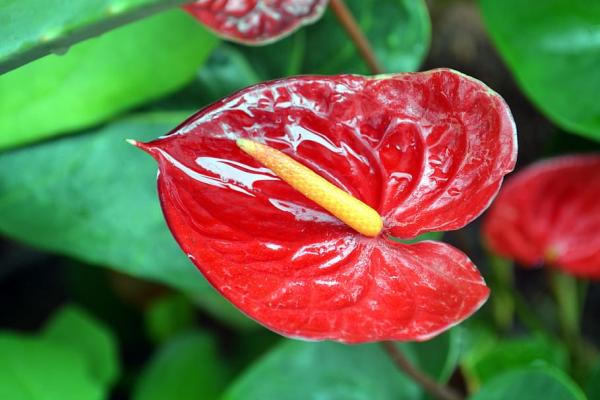 Good luck plants according to Feng Shui - Anthurium or anthurium