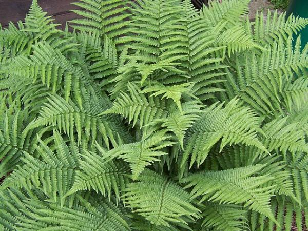 Good luck plants according to Feng Shui - Dryopteris filix-mas or male fern