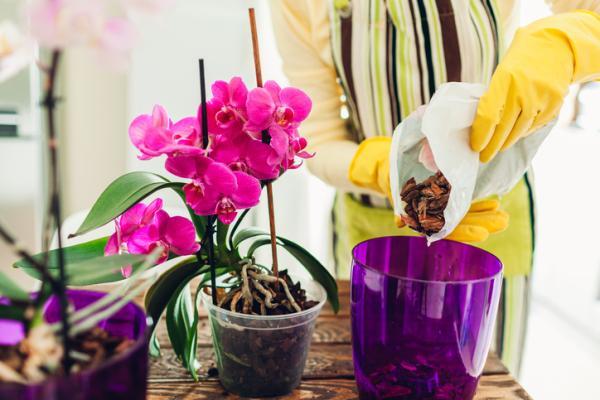 Phalaenopsis orchid: care - Phalaenopsis orchid: basic care