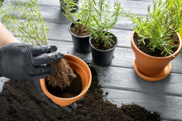 How to Plant Thyme - How to Plant Potted Thyme