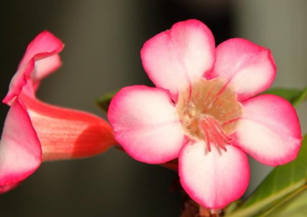 Desert rose: care - Climate of the desert rose