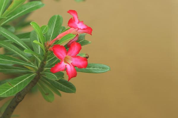 Desert rose: care - Desert rose: characteristics