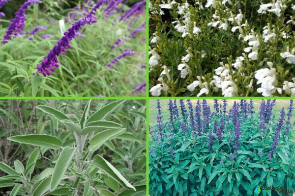 Types of salvias - Other types of salvia