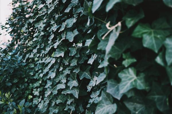 24 climbing plants - Hedera canariensis or Canary ivy