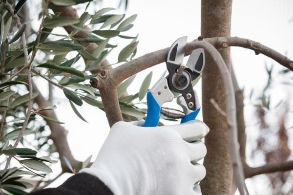 When to prune an olive tree and how to do it - How to prune an olive tree step by step