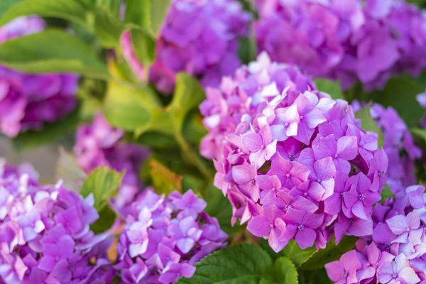 How To Change The Color Of Hydrangeas - How To Make Hydrangeas Pink