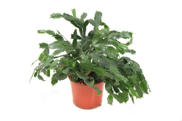 Christmas cactus with wrinkled leaves: why and what to do - Lack or excess watering