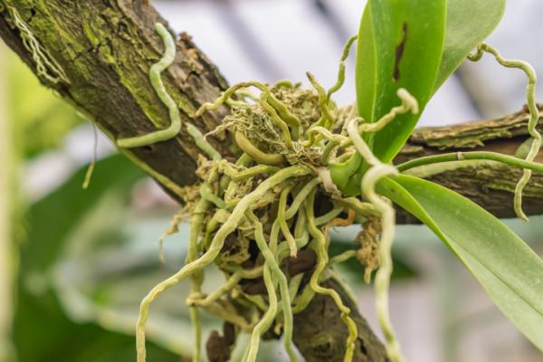 Root Types - Aerial Roots