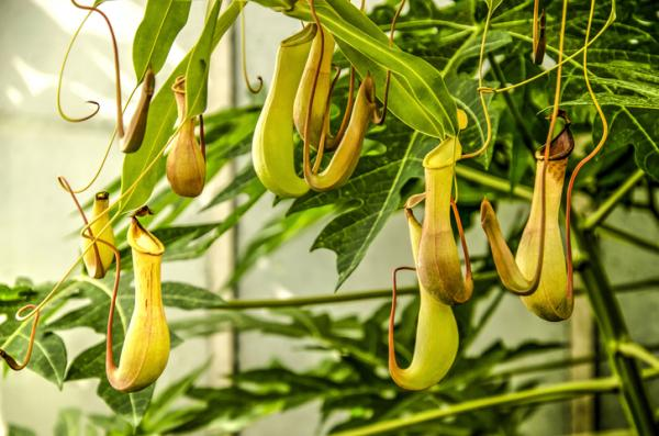 9 types of carnivorous plants - Nepenthes