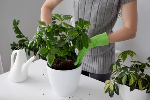 Gardenia Care - Soil