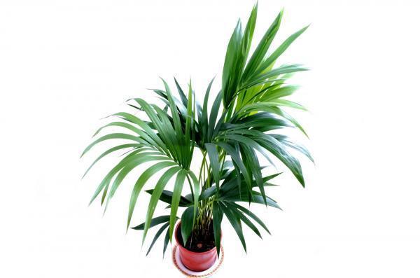 Types of large houseplants - Kentia