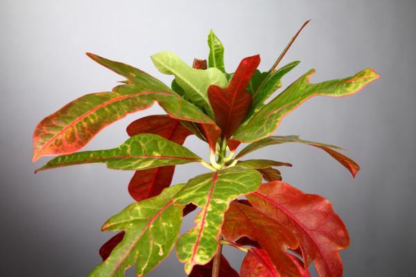 25 tall houseplants - Croton