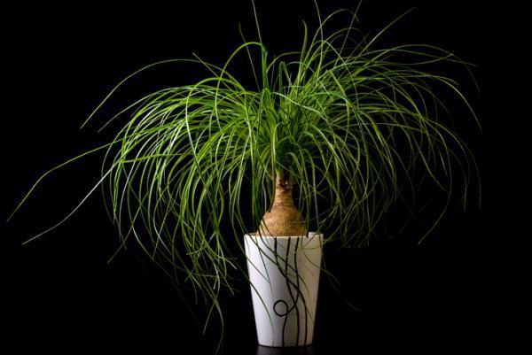 25 tall indoor plants - Nolina