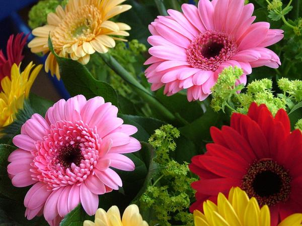 Gerbera plant: care and meaning - Characteristics of the gerbera plant