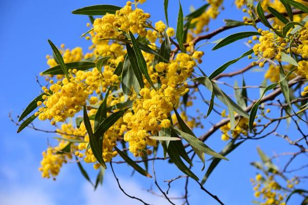 20 ornamental trees - Mimosa, one of the most used ornamental trees