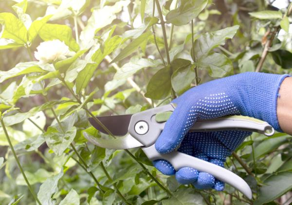 How to care for your jasmine plant in your garden - Jasmine pruning