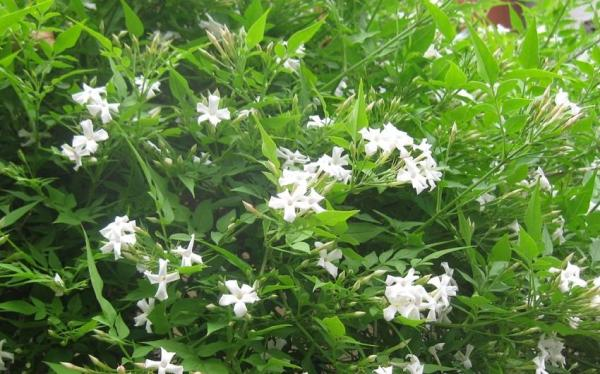 How to care for your jasmine plant in your garden - Watering the jasmine plant