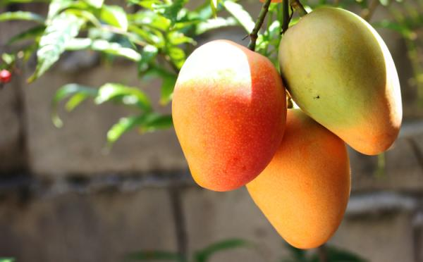 Germinate and plant a mango: how and when to do it - Mango care - basic guide