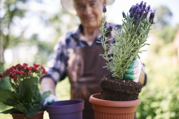 How To Plant Lavender - How To Plant Lavender In Pot